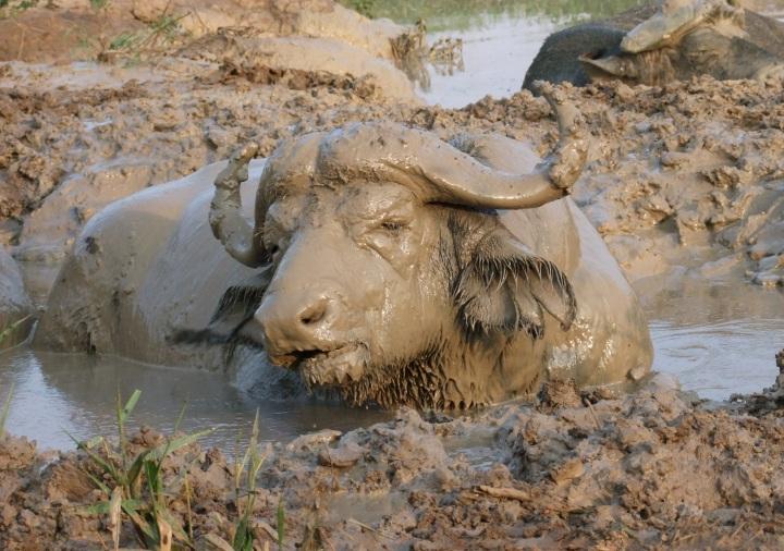 Modderbuffel.jpg